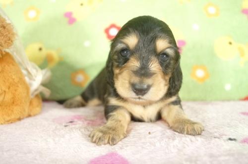 ミニチュアダックスフンド(ロング)の子犬(ID:1255011272)の2枚目の写真/更新日:2017-07-10