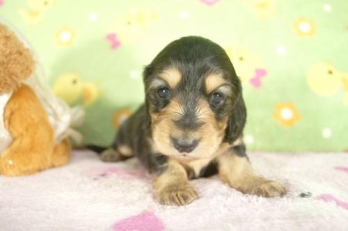 ミニチュアダックスフンド(ロング)の子犬(ID:1255011272)の3枚目の写真/更新日:2017-07-10