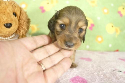 ミニチュアダックスフンド(ロング)の子犬(ID:1255011273)の1枚目の写真/更新日:2017-07-10