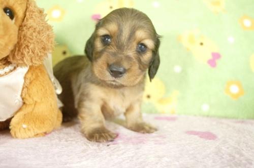 ミニチュアダックスフンド(ロング)の子犬(ID:1255011273)の2枚目の写真/更新日:2017-07-10