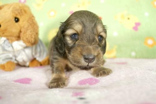 ミニチュアダックスフンド(ロング)の子犬(ID:1255011274)の3枚目の写真/更新日:2017-07-10