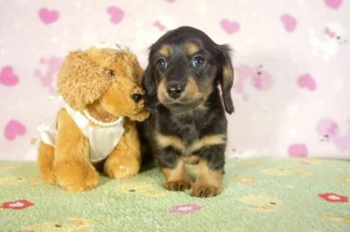 ミニチュアダックスフンド(ロング)の子犬(ID:1255011276)の1枚目の写真/更新日:2017-07-31