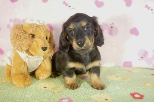 ミニチュアダックスフンド(ロング)の子犬(ID:1255011276)の3枚目の写真/更新日:2017-07-31