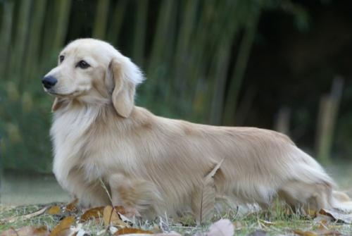 ミニチュアダックスフンド(ロング)の子犬(ID:1255011276)の4枚目の写真/更新日:2017-07-31