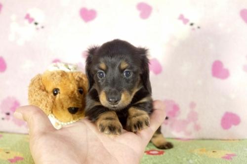 カニンヘンダックスフンド(ロング)の子犬(ID:1255011278)の1枚目の写真/更新日:2017-07-31