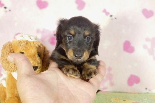カニンヘンダックスフンド(ロング)の子犬(ID:1255011278)の2枚目の写真/更新日:2017-07-31