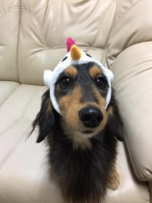 カニンヘンダックスフンド(ロング)の子犬(ID:1255011278)の4枚目の写真/更新日:2017-07-31