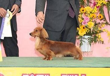 カニンヘンダックスフンド(ロング)の子犬(ID:1255011278)の5枚目の写真/更新日:2017-07-31