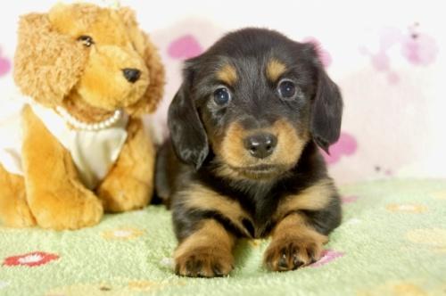 カニンヘンダックスフンド(ロング)の子犬(ID:1255011279)の2枚目の写真/更新日:2017-07-31