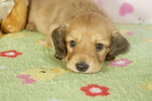 カニンヘンダックスフンド(ロング)の子犬(ID:1255011280)の1枚目の写真/更新日:2017-07-31