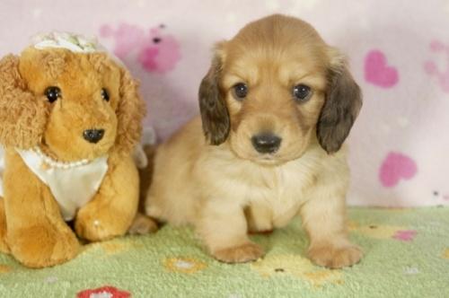 カニンヘンダックスフンド(ロング)の子犬(ID:1255011280)の3枚目の写真/更新日:2017-07-31