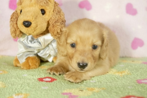 ミニチュアダックスフンド(ロング)の子犬(ID:1255011282)の2枚目の写真/更新日:2017-07-31