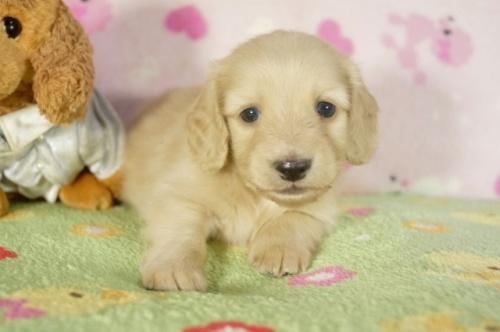 ミニチュアダックスフンド(ロング)の子犬(ID:1255011283)の1枚目の写真/更新日:2017-07-31