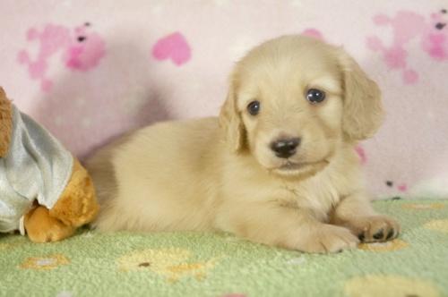 ミニチュアダックスフンド(ロング)の子犬(ID:1255011283)の3枚目の写真/更新日:2017-07-31