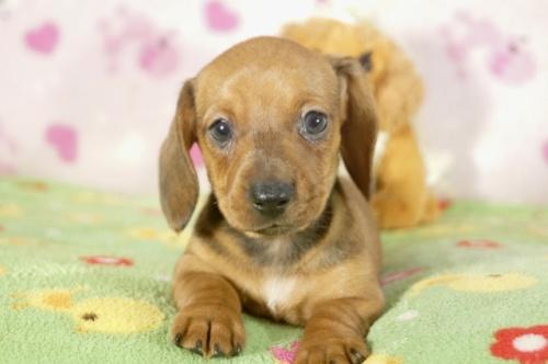 ミニチュアダックスフンド(ロング)の子犬(ID:1255011284)の3枚目の写真/更新日:2017-08-14