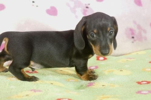 ミニチュアダックスフンド(ロング)の子犬(ID:1255011285)の2枚目の写真/更新日:2017-08-14