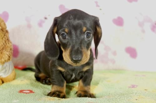 ミニチュアダックスフンド(ロング)の子犬(ID:1255011285)の3枚目の写真/更新日:2017-08-14