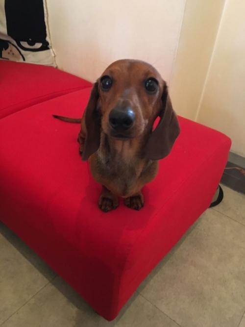 ミニチュアダックスフンド(ロング)の子犬(ID:1255011285)の4枚目の写真/更新日:2017-07-31