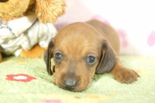ミニチュアダックスフンド(ロング)の子犬(ID:1255011286)の1枚目の写真/更新日:2017-07-31