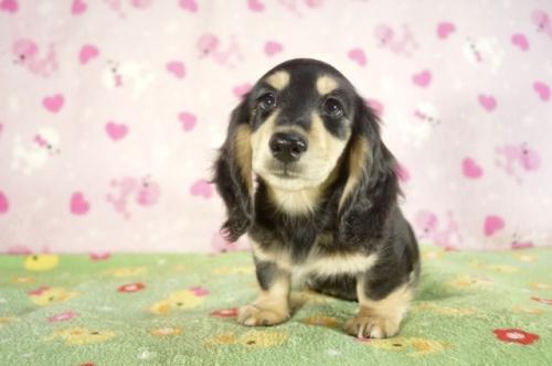 ミニチュアダックスフンド(ロング)の子犬(ID:1255011287)の1枚目の写真/更新日:2017-08-14