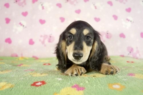 ミニチュアダックスフンド(ロング)の子犬(ID:1255011287)の3枚目の写真/更新日:2017-08-14