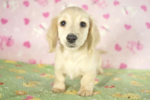 ミニチュアダックスフンド(ロング)の子犬(ID:1255011288)の1枚目の写真/更新日:2017-08-14