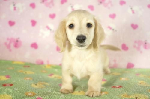 ミニチュアダックスフンド(ロング)の子犬(ID:1255011288)の2枚目の写真/更新日:2017-08-14