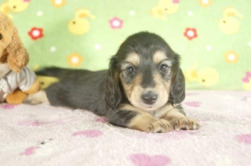 ミニチュアダックスフンド(ロング)の子犬(ID:1255011289)の1枚目の写真/更新日:2017-08-04