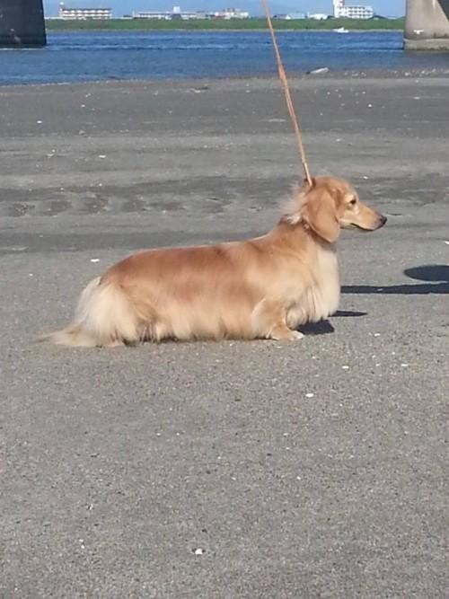 ミニチュアダックスフンド(ロング)の子犬(ID:1255011289)の4枚目の写真/更新日:2017-08-04