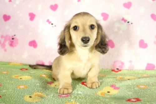 ミニチュアダックスフンド(ロング)の子犬(ID:1255011290)の1枚目の写真/更新日:2017-08-14