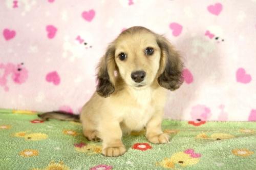 ミニチュアダックスフンド(ロング)の子犬(ID:1255011290)の2枚目の写真/更新日:2017-08-14