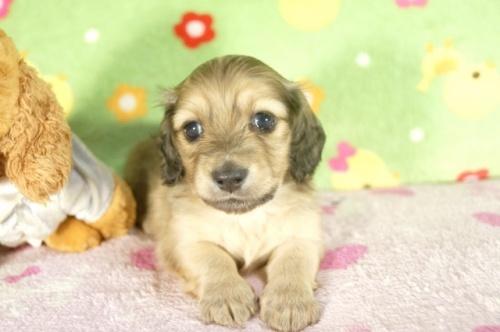 ミニチュアダックスフンド(ロング)の子犬(ID:1255011291)の1枚目の写真/更新日:2017-08-04