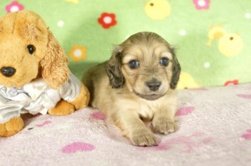 ミニチュアダックスフンド(ロング)の子犬(ID:1255011291)の3枚目の写真/更新日:2017-08-04