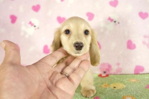 ミニチュアダックスフンド(ロング)の子犬(ID:1255011294)の1枚目の写真/更新日:2017-09-11