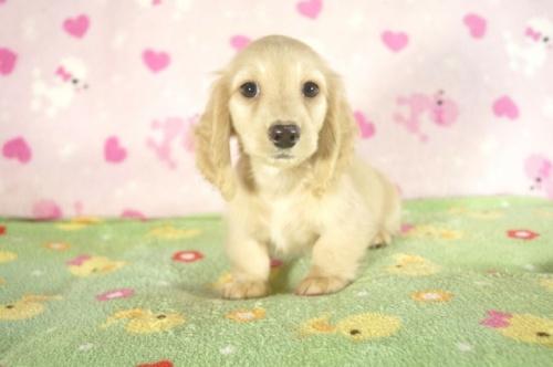 ミニチュアダックスフンド(ロング)の子犬(ID:1255011294)の2枚目の写真/更新日:2017-09-11