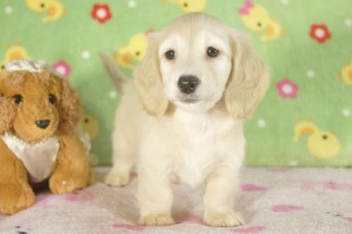 ミニチュアダックスフンド(ロング)の子犬(ID:1255011296)の2枚目の写真/更新日:2017-09-15