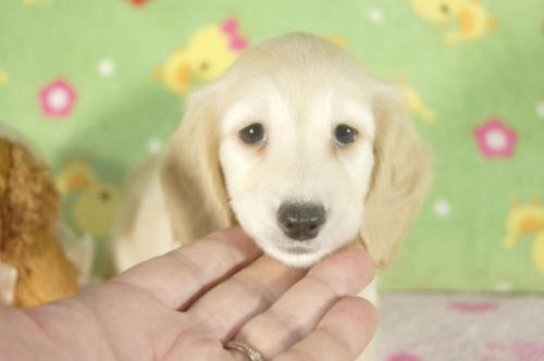 ミニチュアダックスフンド(ロング)の子犬(ID:1255011296)の3枚目の写真/更新日:2017-09-15