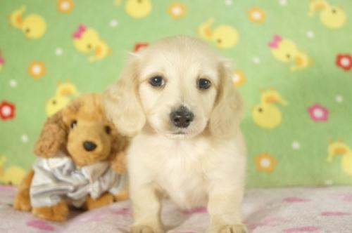 ミニチュアダックスフンド(ロング)の子犬(ID:1255011301)の1枚目の写真/更新日:2017-09-15