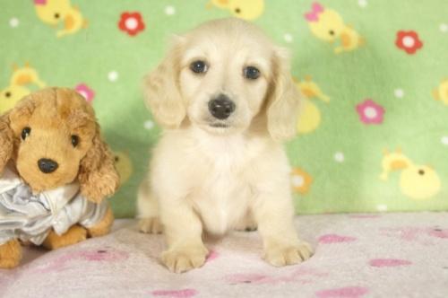 ミニチュアダックスフンド(ロング)の子犬(ID:1255011301)の2枚目の写真/更新日:2017-09-15