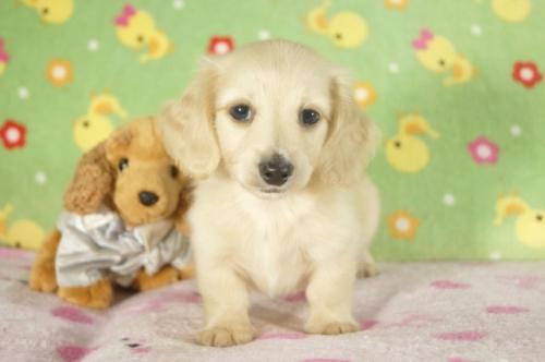ミニチュアダックスフンド(ロング)の子犬(ID:1255011301)の3枚目の写真/更新日:2017-09-15