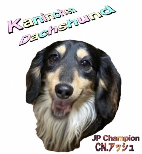 カニンヘンダックスフンド(ロング)の子犬(ID:1255011309)の3枚目の写真/更新日:2017-10-15