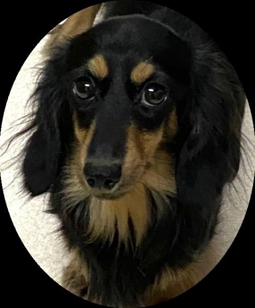 ミニチュアダックスフンド(ロング)の子犬(ID:1255011309)の4枚目の写真/更新日:2018-09-18