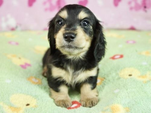 ミニチュアダックスフンド(ロング)の子犬(ID:1255011319)の3枚目の写真/更新日:2017-11-22