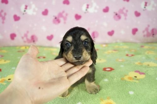 ミニチュアダックスフンド(ロング)の子犬(ID:1255011322)の1枚目の写真/更新日:2017-11-22
