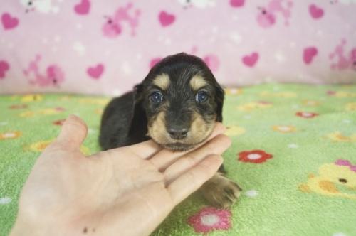 ミニチュアダックスフンド(ロング)の子犬(ID:1255011322)の2枚目の写真/更新日:2018-11-09