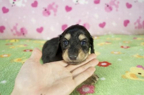 ミニチュアダックスフンド(ロング)の子犬(ID:1255011322)の3枚目の写真/更新日:2017-11-22