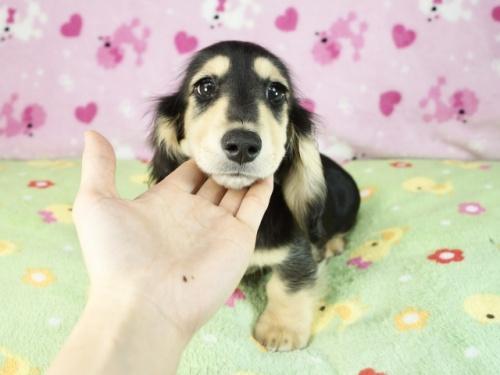 ミニチュアダックスフンド(ロング)の子犬(ID:1255011323)の3枚目の写真/更新日:2017-12-04