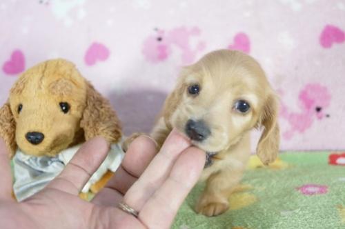 ミニチュアダックスフンド(ロング)の子犬(ID:1255011324)の1枚目の写真/更新日:2018-06-11