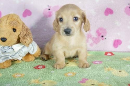 ミニチュアダックスフンド(ロング)の子犬(ID:1255011324)の2枚目の写真/更新日:2017-12-04