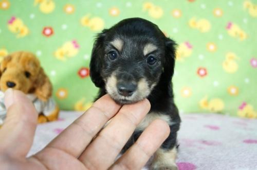 ミニチュアダックスフンド(ロング)の子犬(ID:1255011329)の1枚目の写真/更新日:2017-12-04
